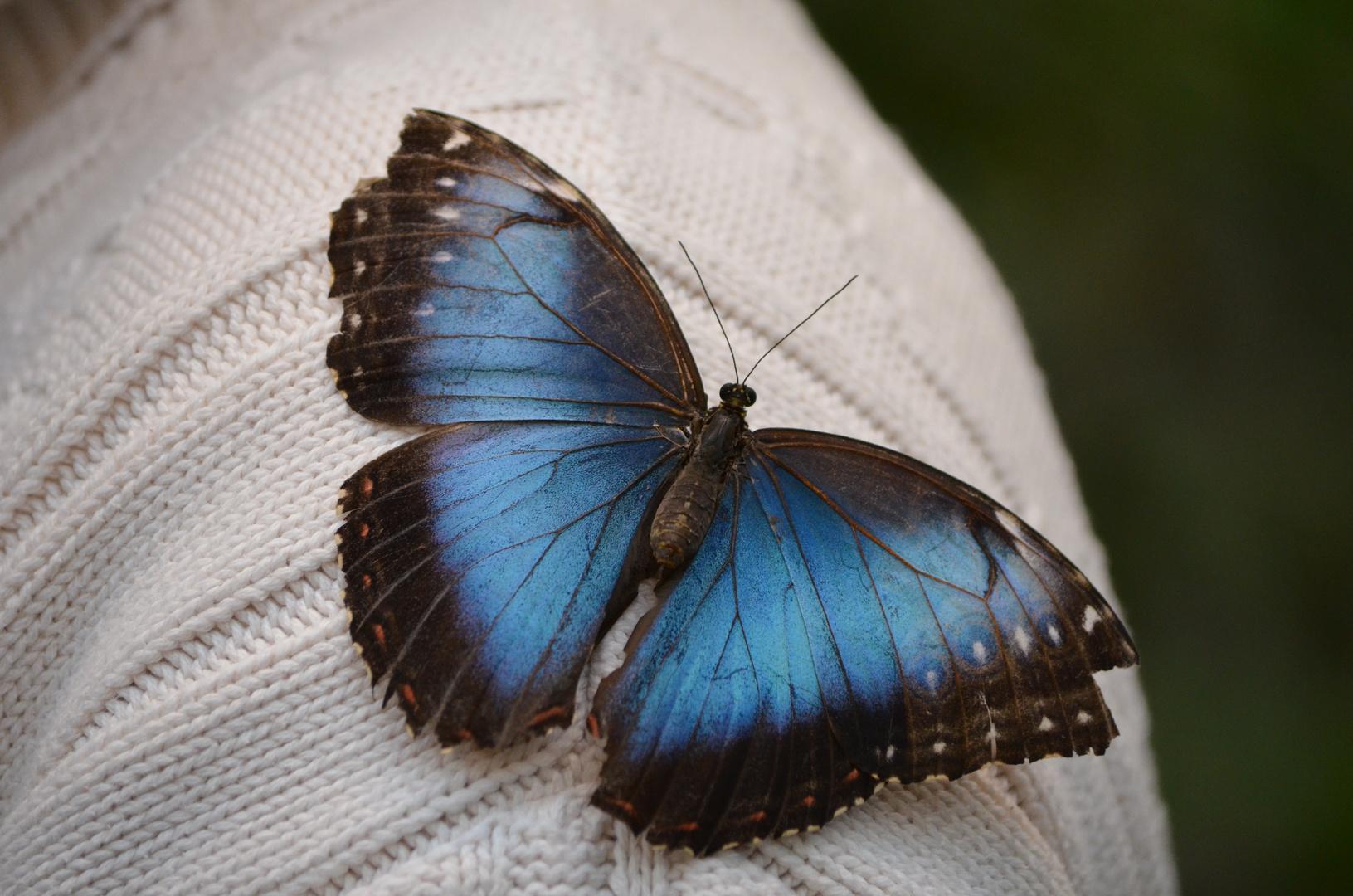 Schmetterling auf meiner Schulter