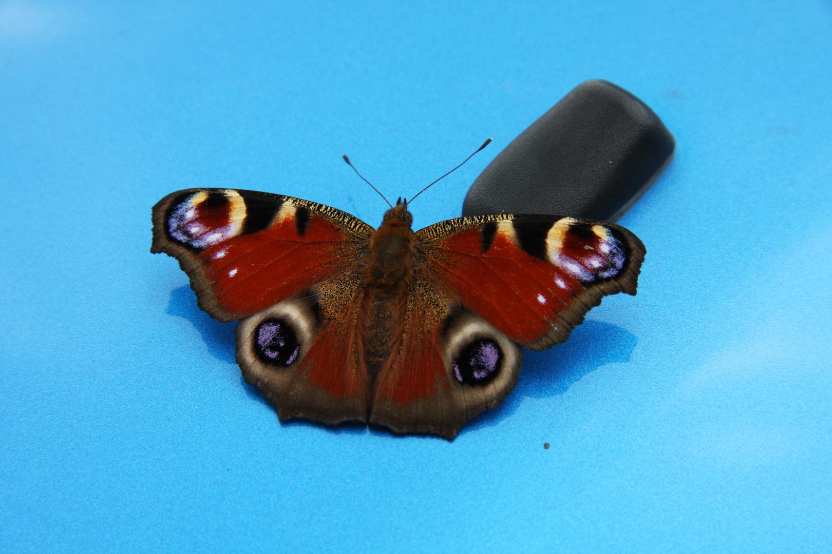 Schmetterling auf MINI-Motorhaube