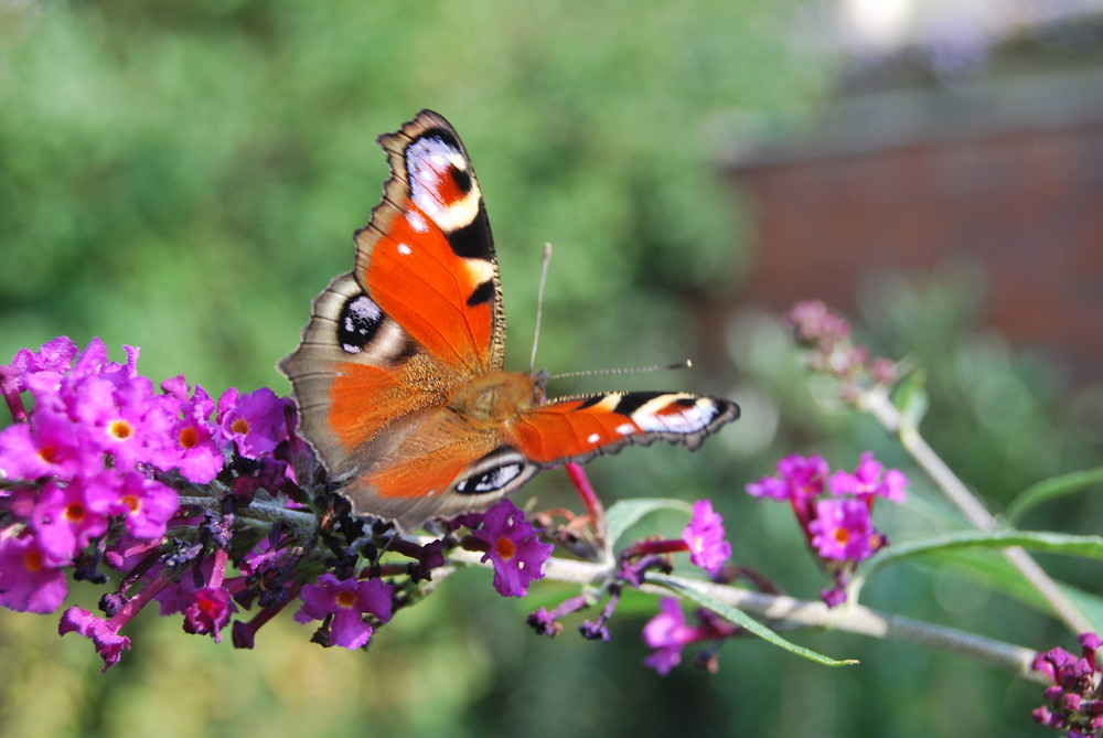 Schmetterling auf Narungssuche