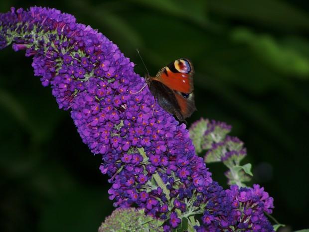 Schmetterling auf Nektar suche