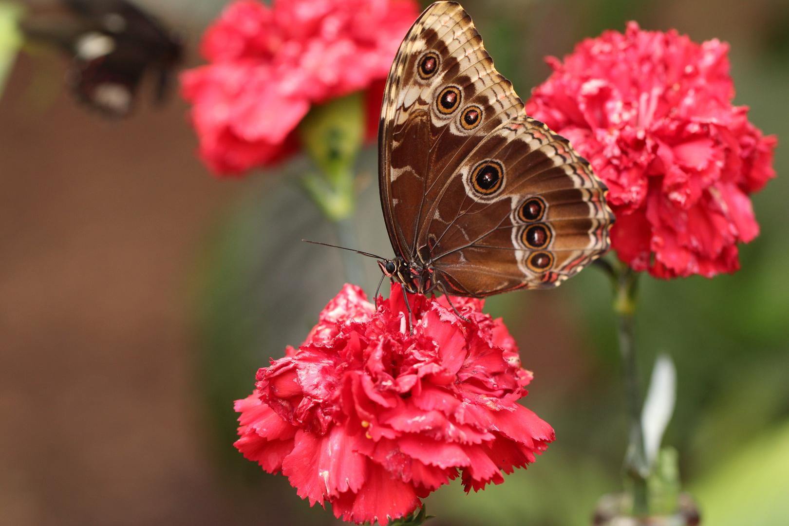 Schmetterling auf Nelke