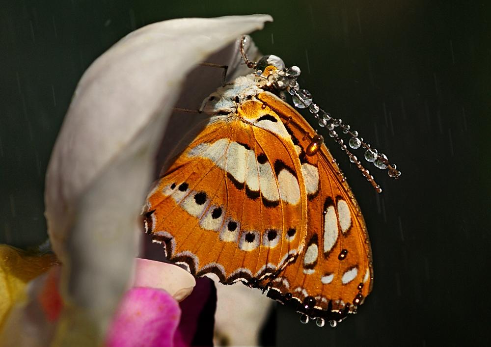 Schmetterling auf Orchidee