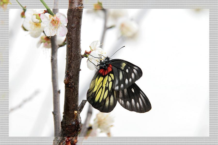 Schmetterling auf Pflaumenblüte