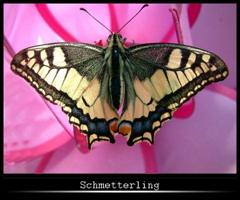 Schmetterling auf Pink