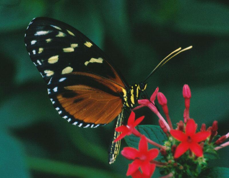 Schmetterling auf roter Blüte