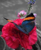 Schmetterling auf roter Nelke II