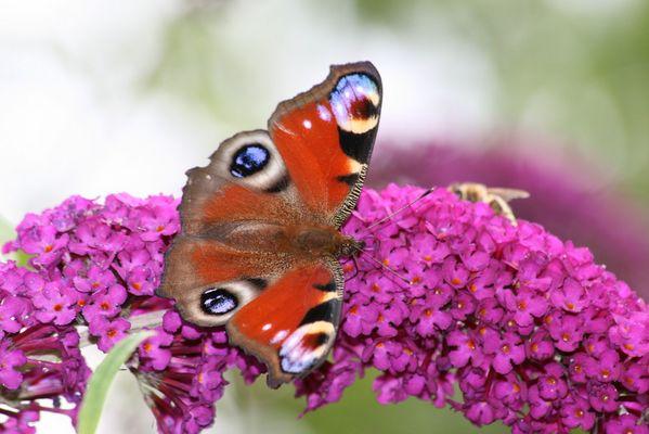 Schmetterling auf Sommerflieder....