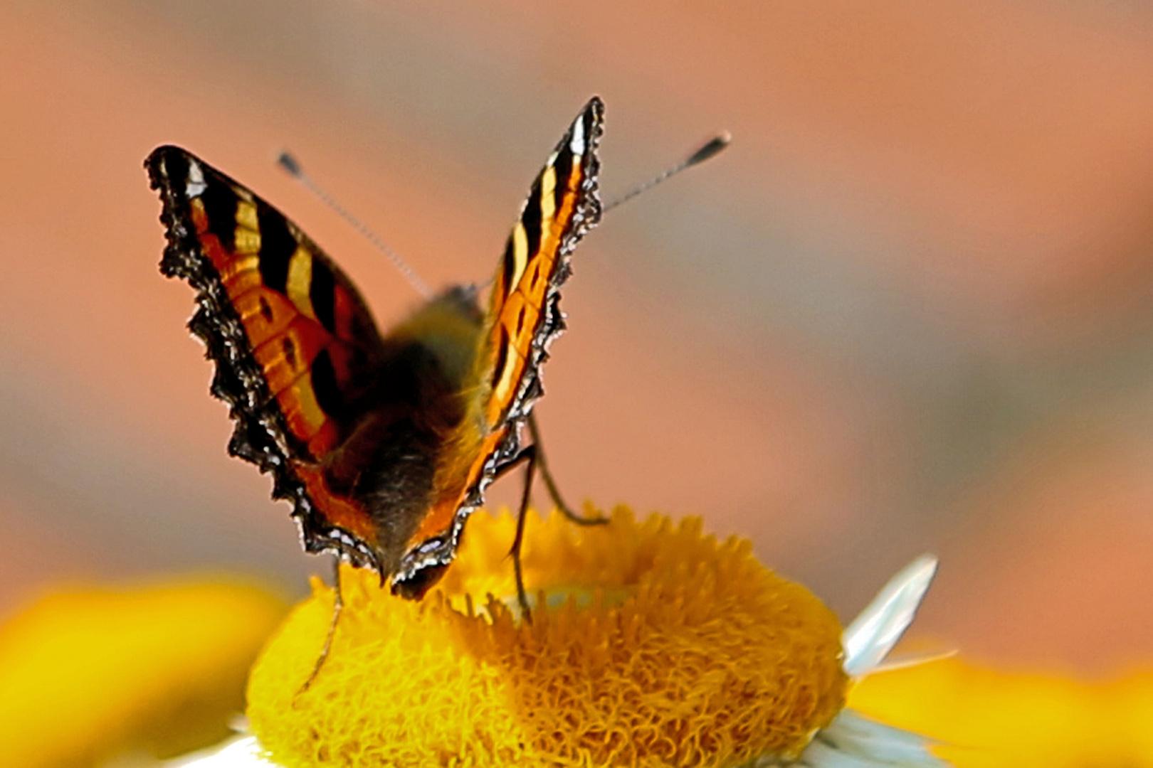 Schmetterling auf Strohblume