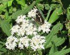 Schmetterling auf weißer Blume