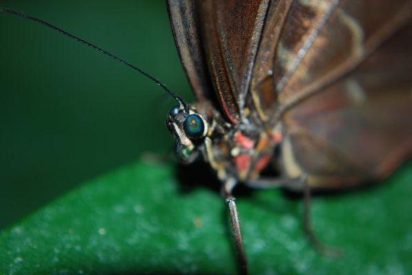 Schmetterling - Augen