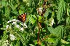 Schmetterling aus dem Bayerischen Wald