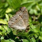Schmetterling Bali 4