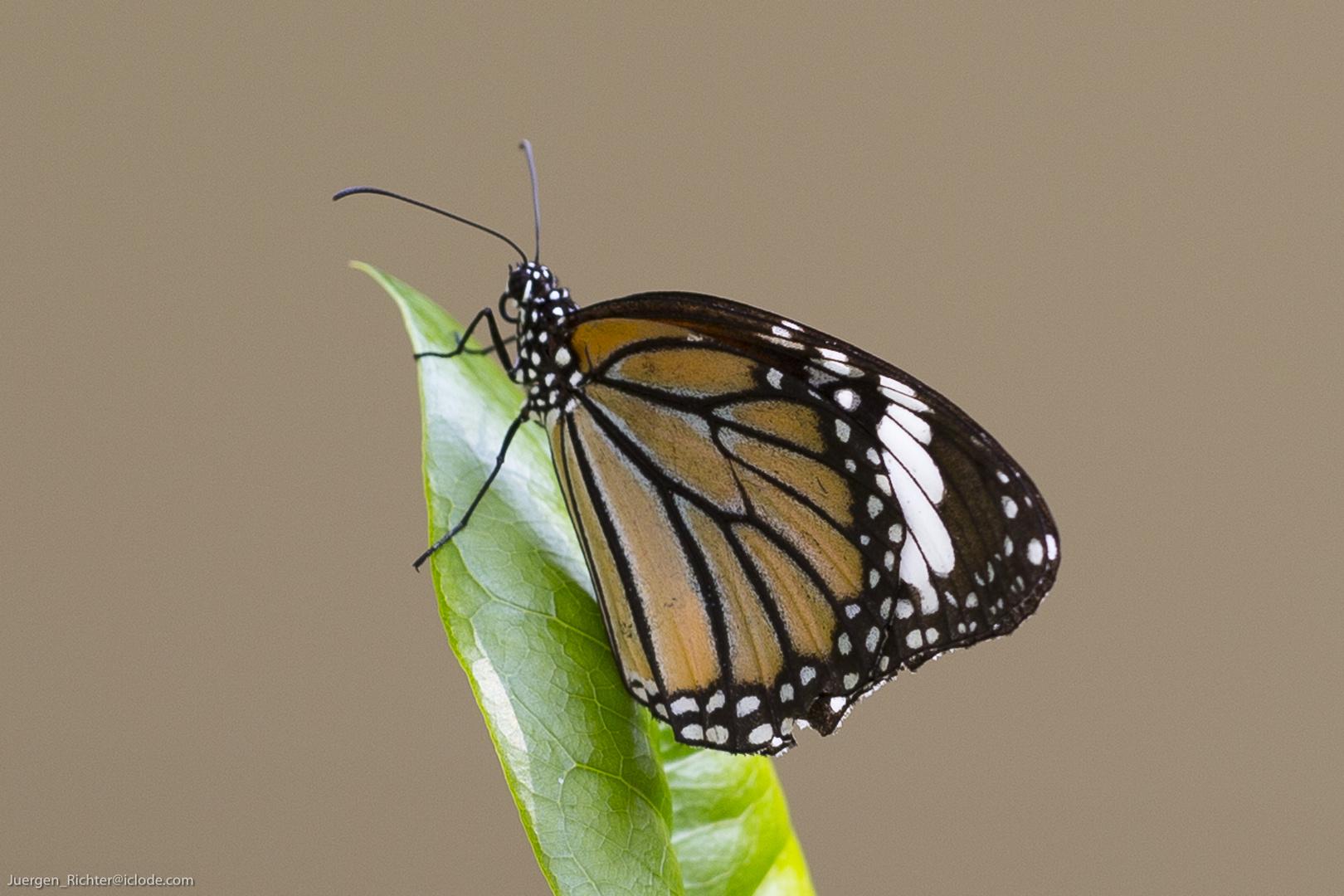Schmetterling Bangkok Salaya