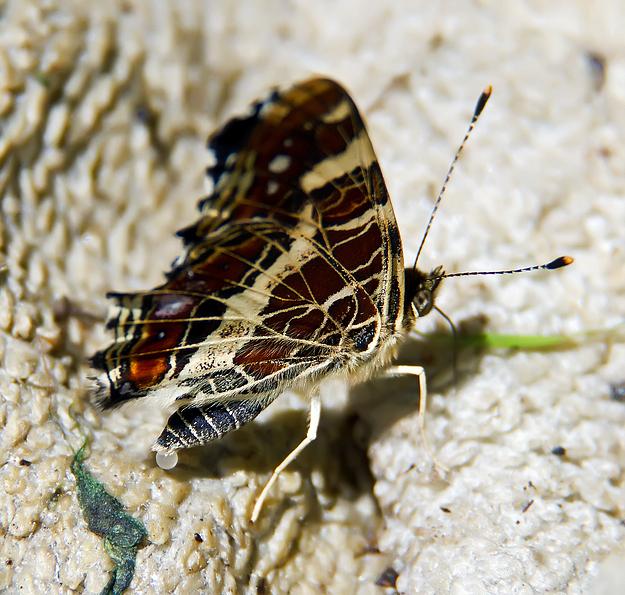 Schmetterling bei der Eiablage