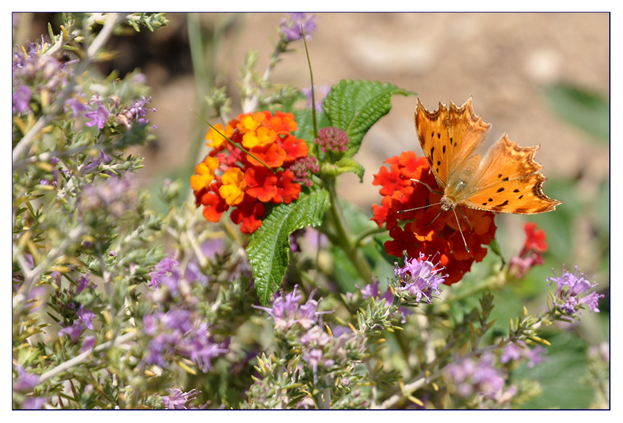 Schmetterling bei der Futtersuche #1