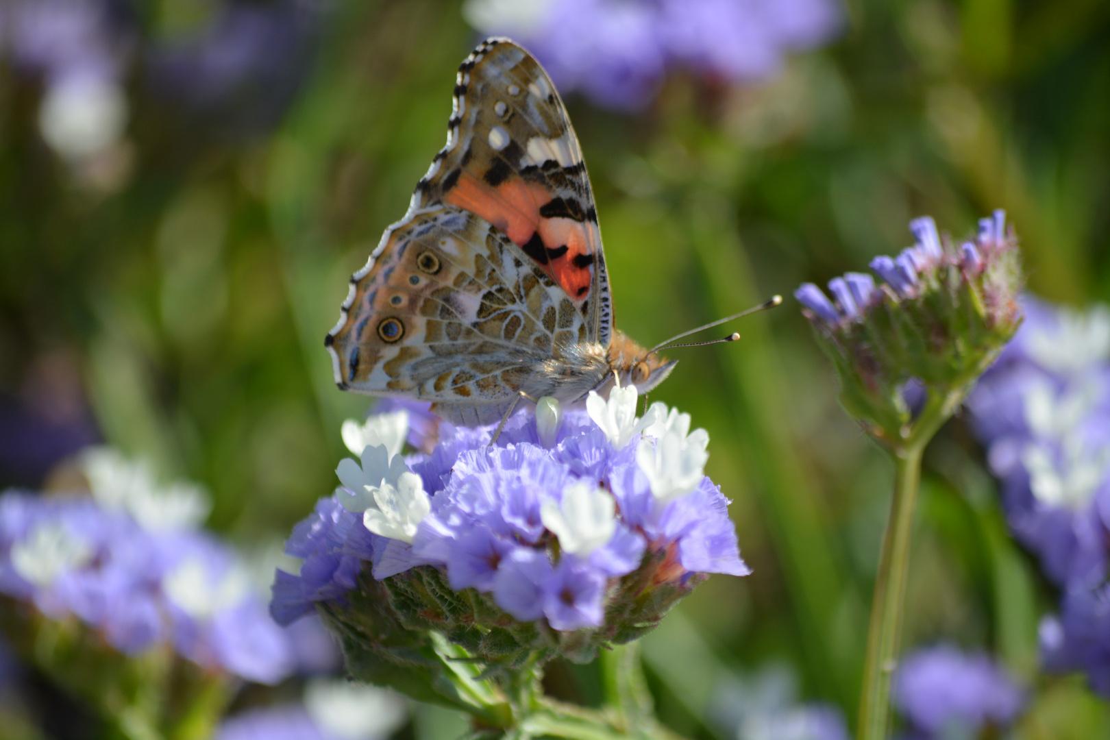 Schmetterling bei der Mahlzeit
