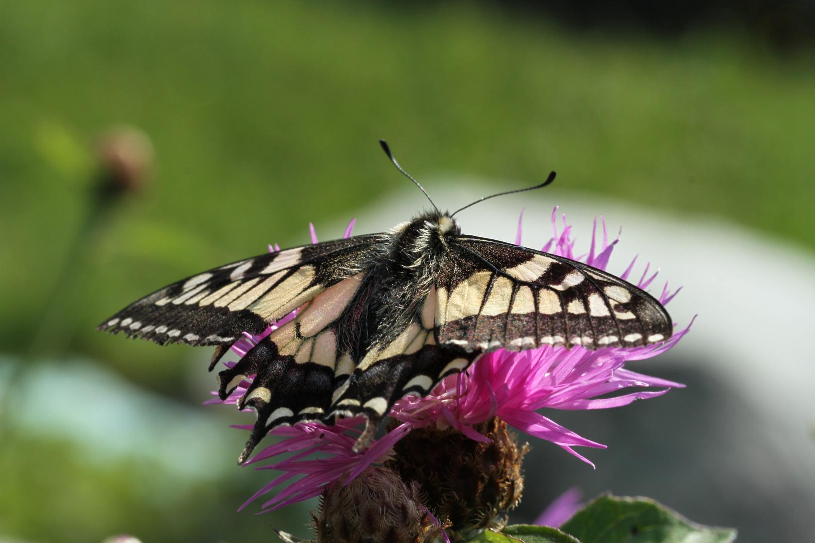 Schmetterling bei Sonnenbad