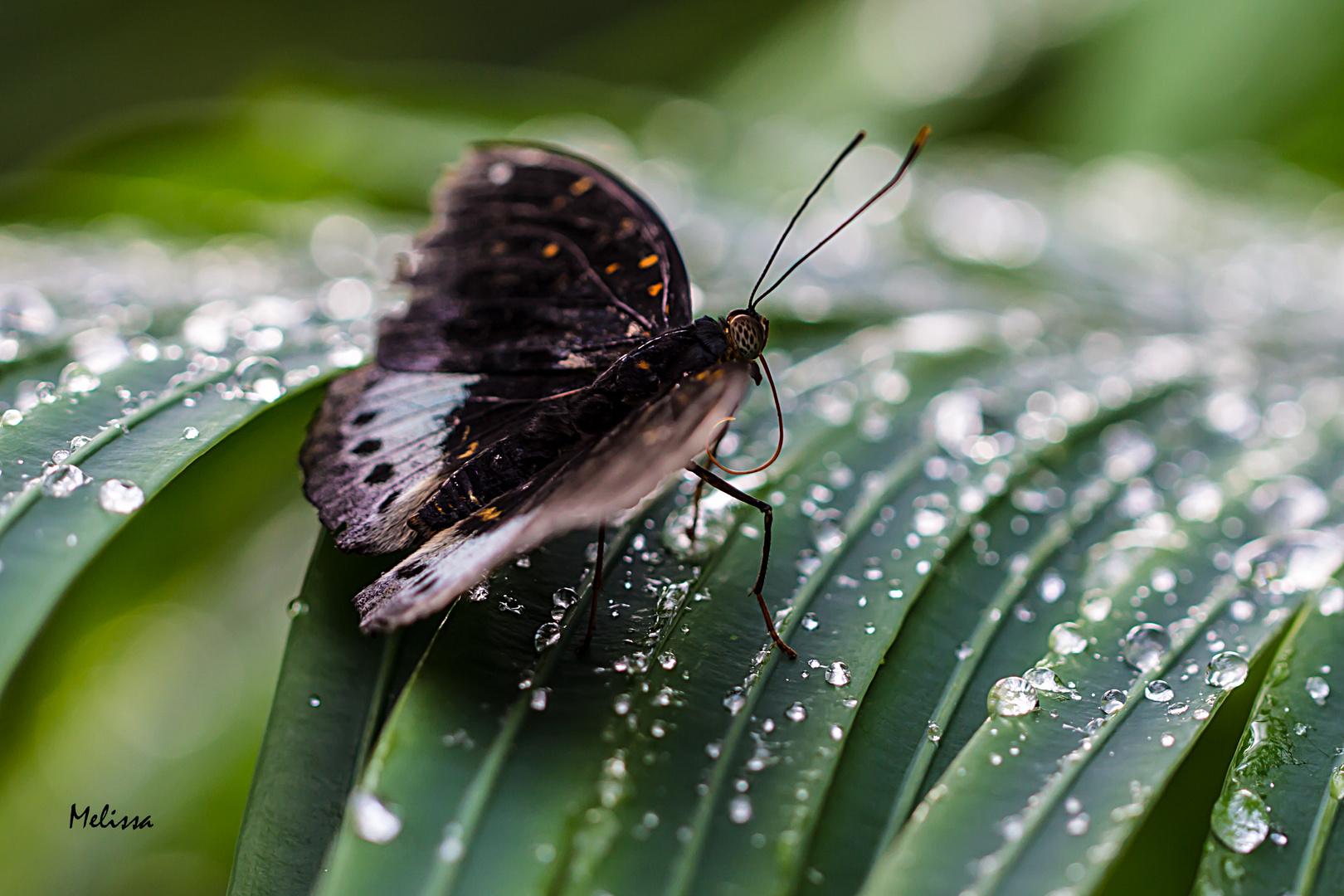 Schmetterling bei Wassertropfen:)