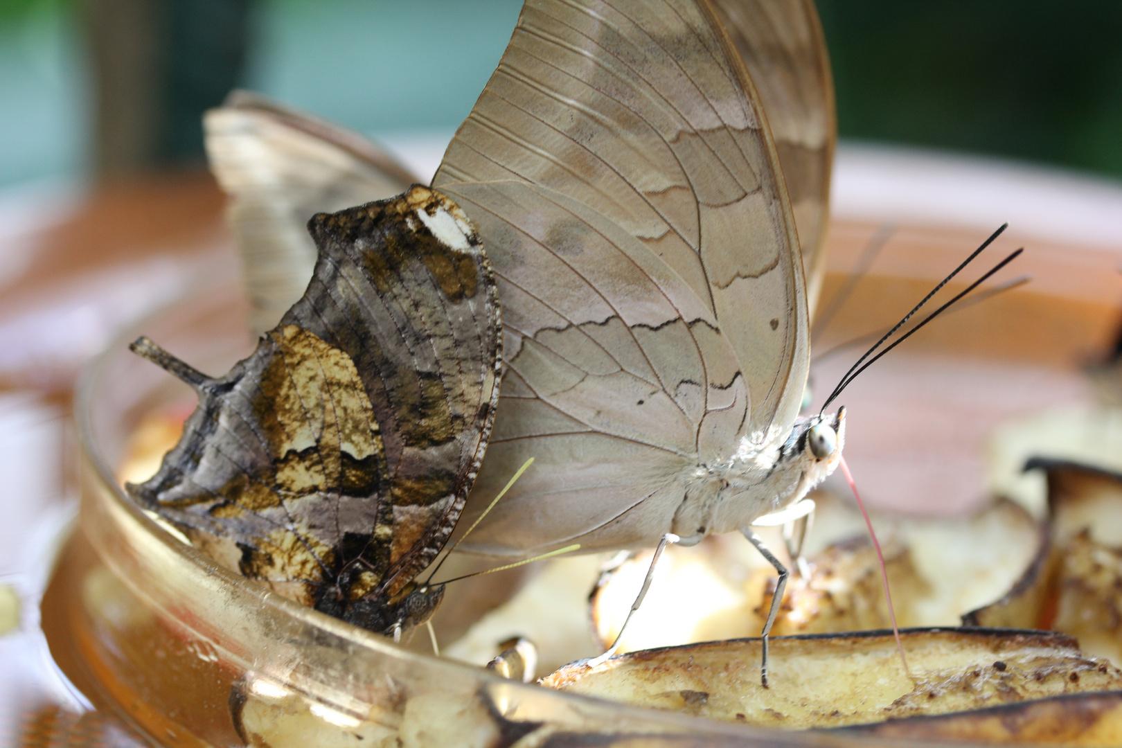 Schmetterling beim futtern