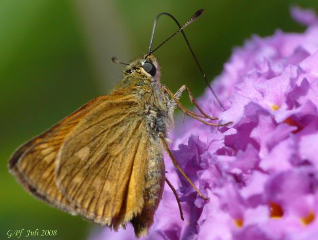 Schmetterling beim Nektarschlürfen