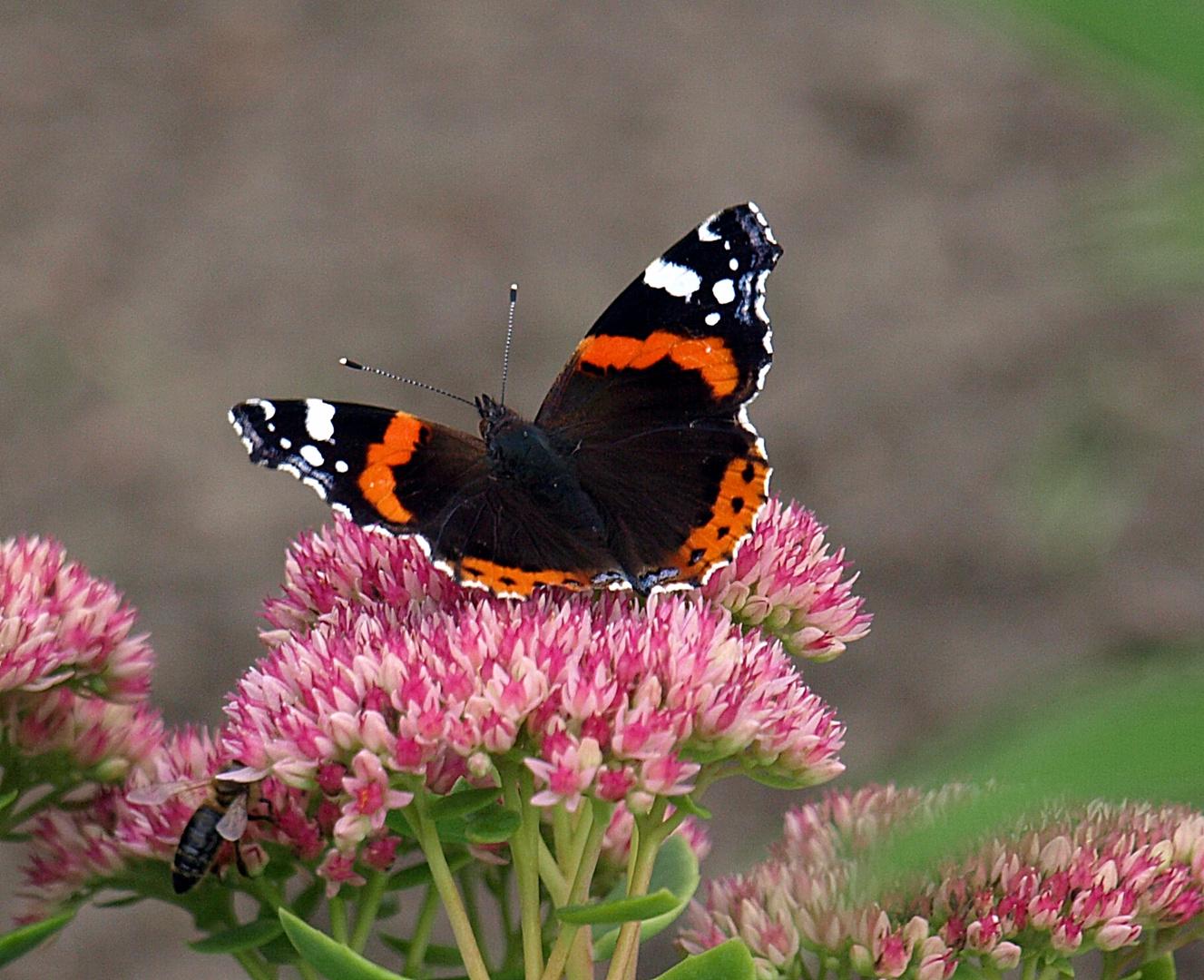 Schmetterling beim sammeln von Blütenpollen
