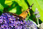 Schmetterling beim Saugen