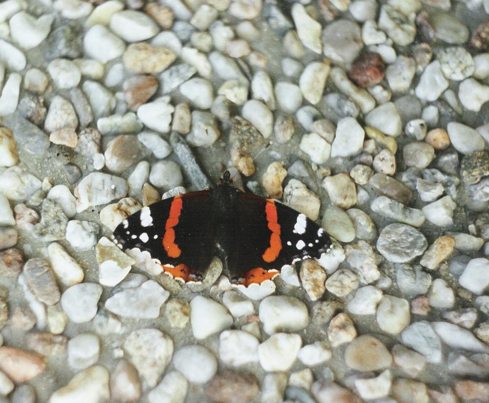 Schmetterling beim Sonnen