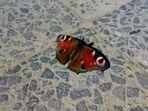 Schmetterling beim Sonnenbaden auf dem Buergersteig (Handypic!!!)
