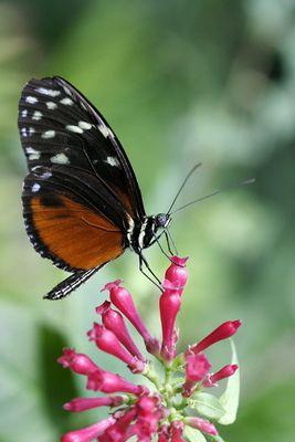 Schmetterling beim Tanken