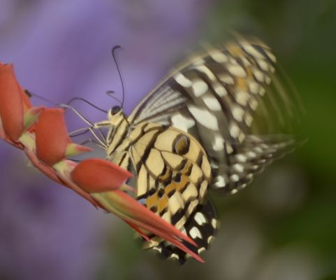 Schmetterling - Bewegt