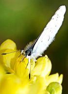 Schmetterling ........ Bläuling auf Nektarsuche