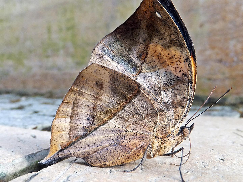 Schmetterling Blattfalter