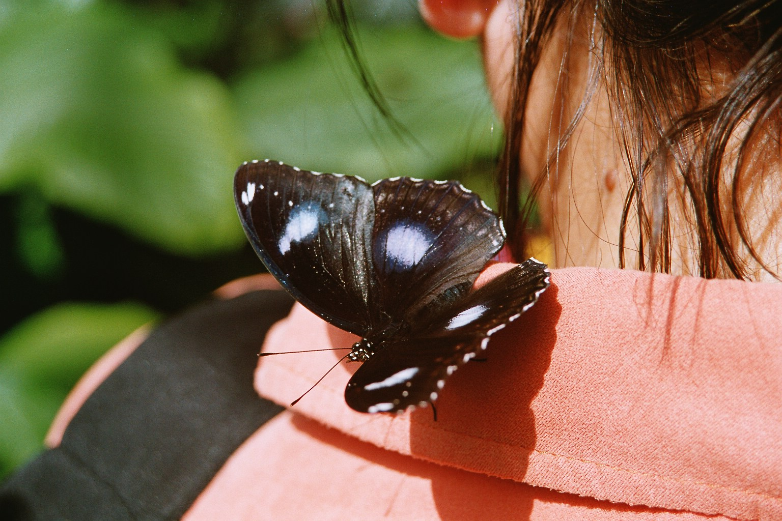 Schmetterling Canada Niagara
