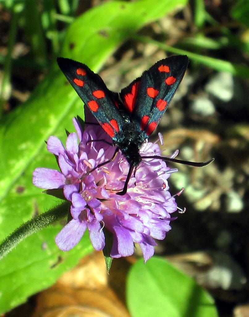Schmetterling CH Torgon