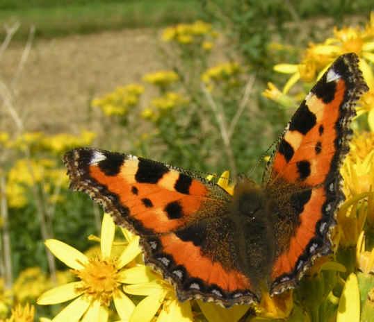 Schmetterling der 2.