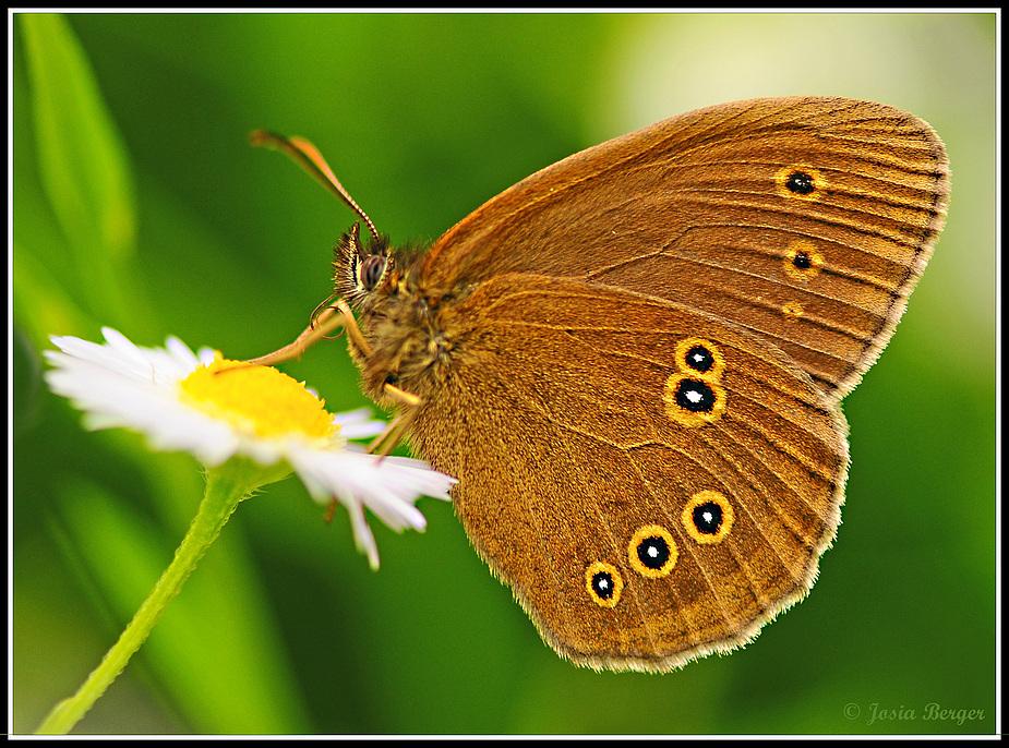 Schmetterling (der braune Waldvogel)