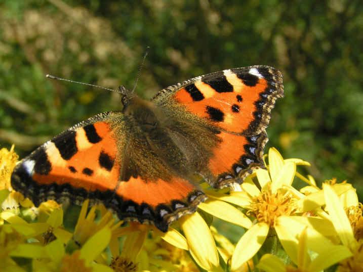 Schmetterling der Bunte
