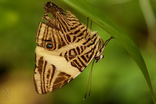 Schmetterling - der zweite