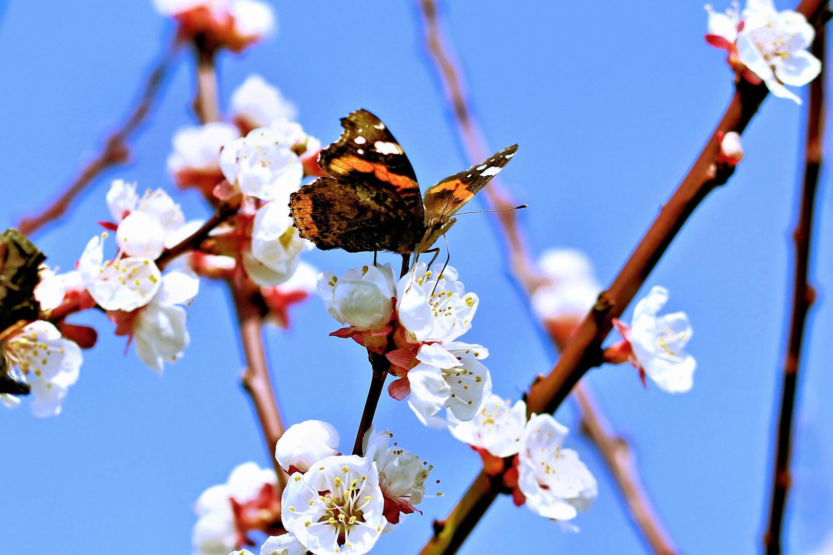 Schmetterling der zweite