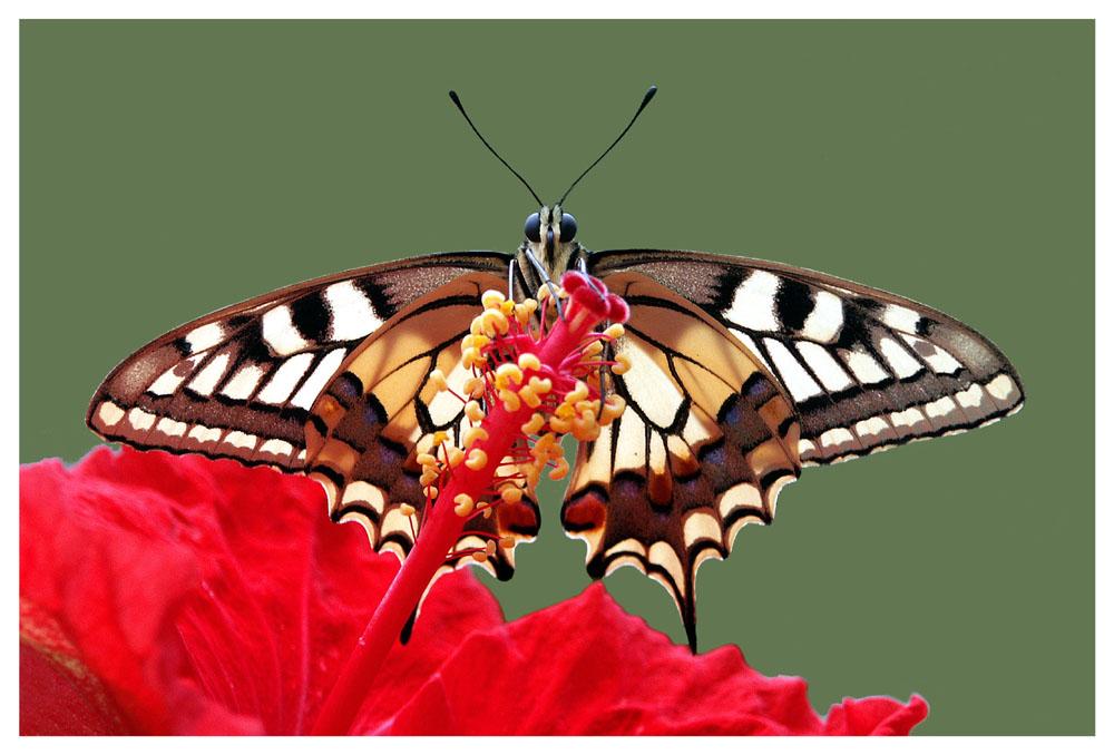 Schmetterling des Jahres 2006