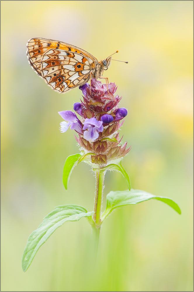 ~ Schmetterling des Jahres 2013 -
