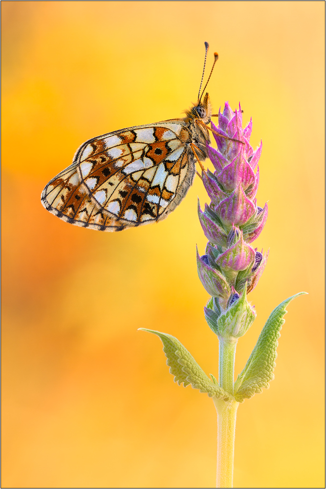 Schmetterling des Jahres 2013