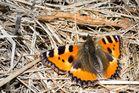 ...Schmetterling...
