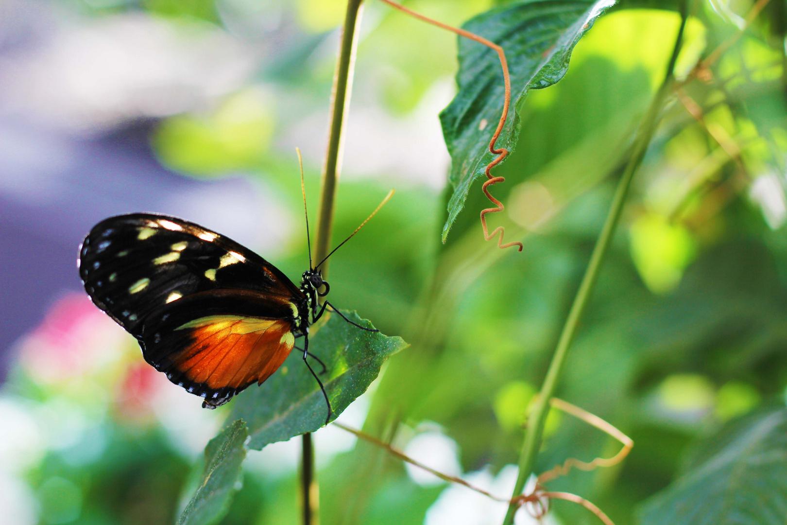 Schmetterling**