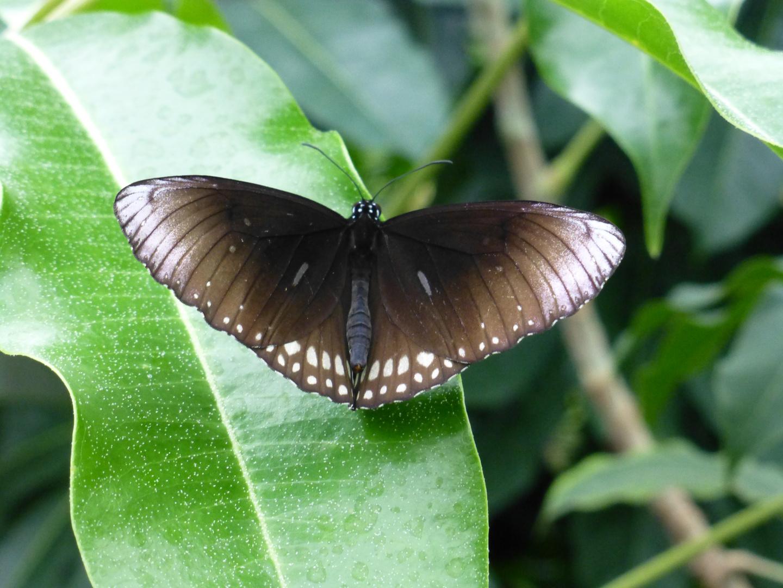 Schmetterling , Emmen 2