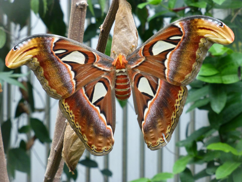 Schmetterling , Emmen