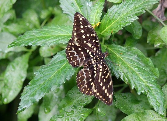 Schmetterling Erzherzog - Lexias Pardalis -