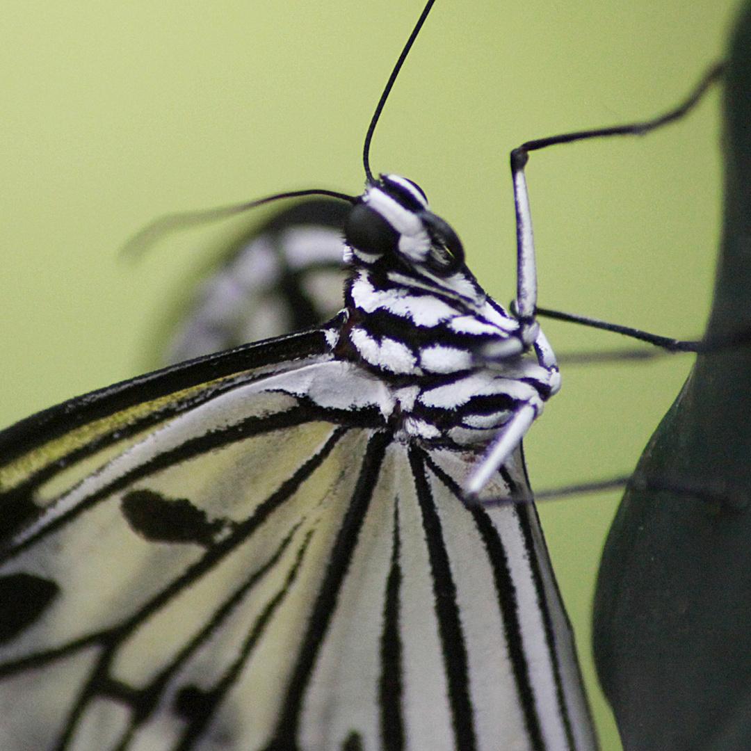 +Schmetterling+