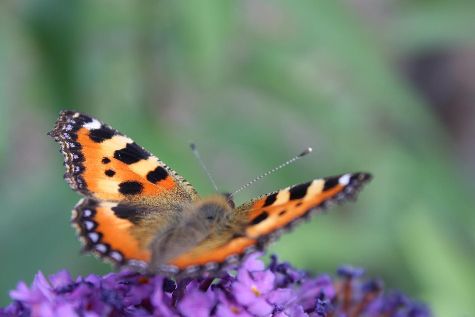 Schmetterling ;)
