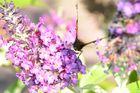 Schmetterling ganz nah !
